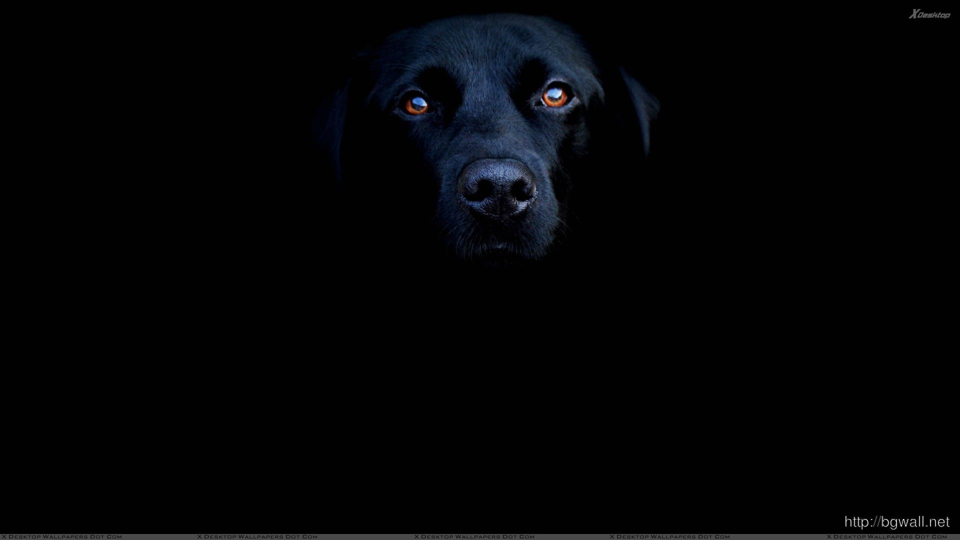 Black Labrador Face Closeup On Black Background Wallpaper Full Size