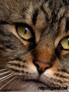 Brown Cat Face Closeup Wallpaper Full Size