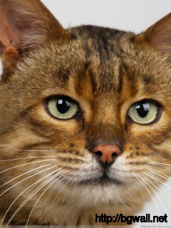 Dark Brown Cat Face Closeup Wallpaper Full Size