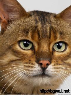 Dark Brown Cat Face Closeup Wallpaper Full Size