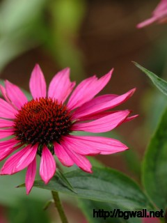 1024x600 Wallpaper Echinacea Ruby Giant Wallpaper Background Full Size