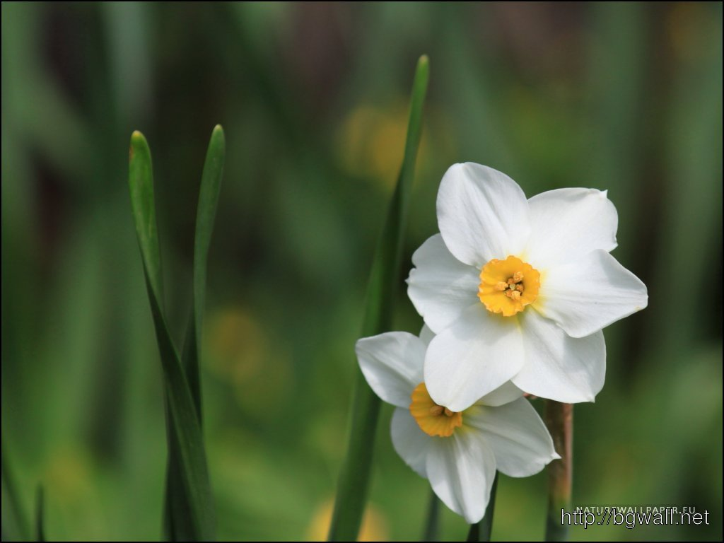 1024x768 Wallpaper Little White Narcissus Wallpaper Background