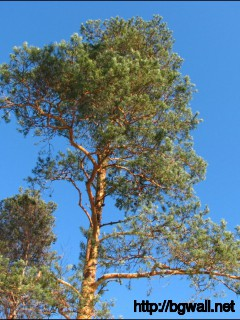 1152x864 Wallpaper Pine Tree Wallpaper Background Full Size
