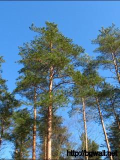 1280x1024 Wallpaper Pine Trees Wallpaper Background Full Size