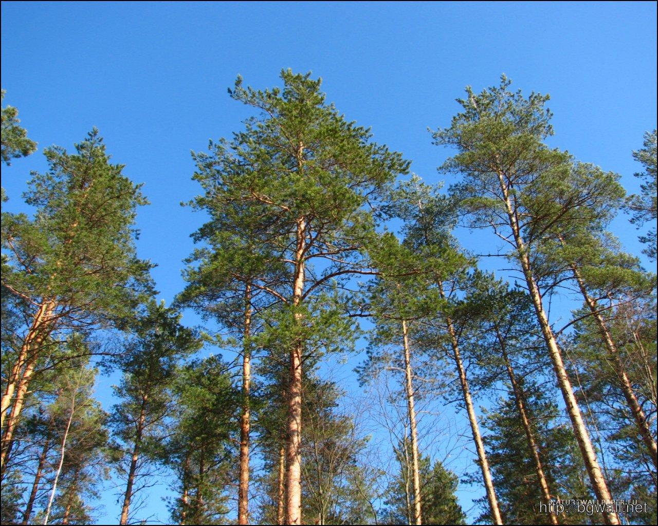 1280 1024 wallpaper pine trees wallpaper background for Tree wallpaper for home