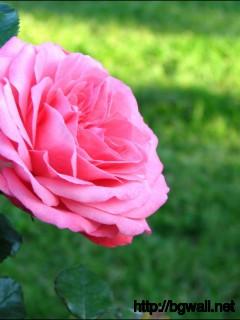 1280x1024 Wallpaper Pink Rose Wallpaper Background Full Size