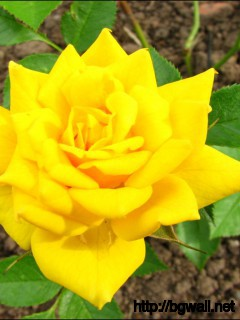 1280x1024 Wallpaper Sonnenkind Yellow Rose Wallpaper Background Full Size