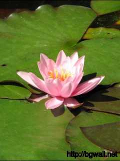 1280x1024 Wallpaper Water Lily Wallpaper Background Full Size