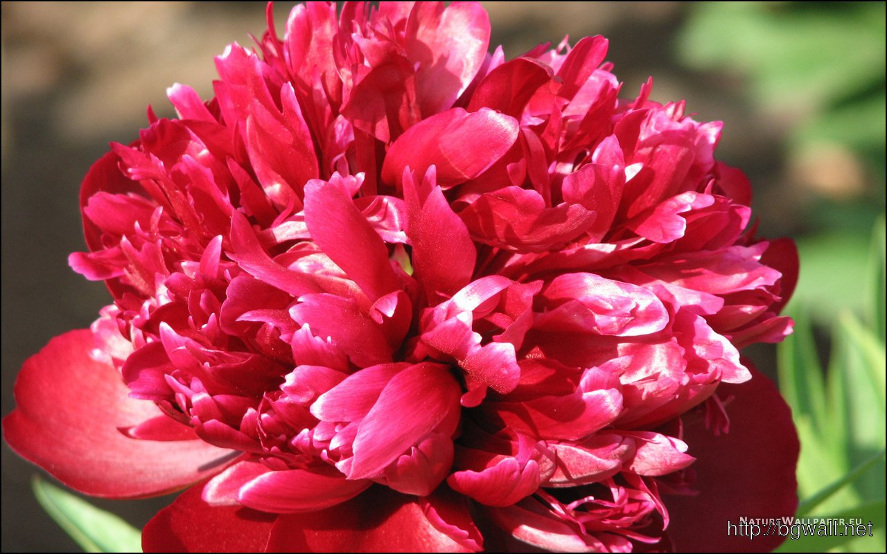 1280x800 Wallpaper Peony Wallpaper Background
