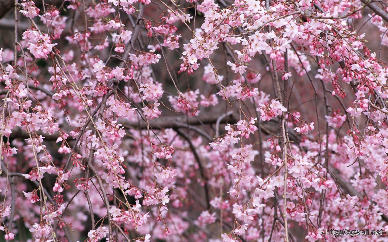 1440900 Japanese Sakura Wallpapers Full Size