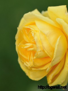 1920x1080 Wallpaper Yellow Rose Wallpaper Background Full Size