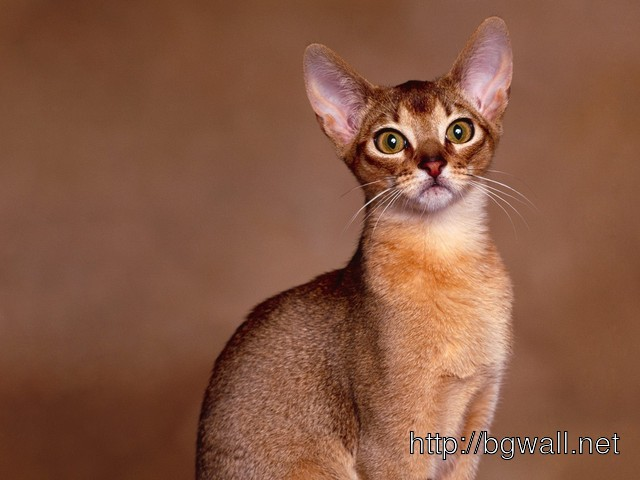 Abyssinian Full Size