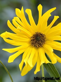 African Yellow Daisy Wallpaper Full Size