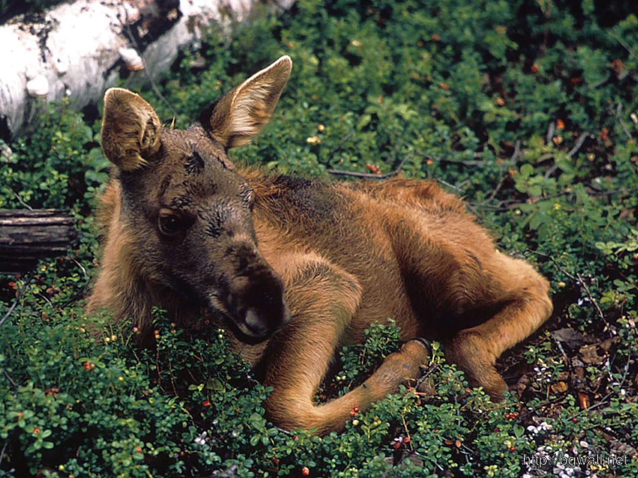 Baby Moose Full Size