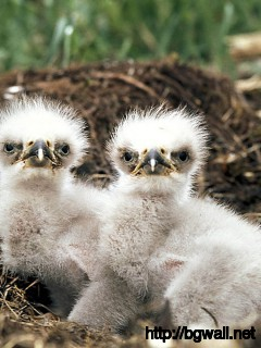 Bald Eagle Chicks Full Size