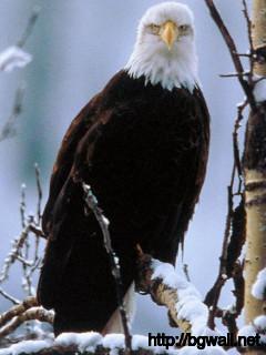 Bald Eagle Full Size
