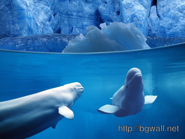 Belugas Underwater Full Size