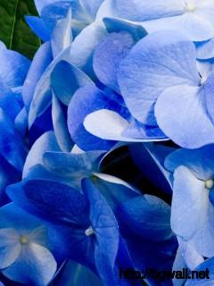 Blue Hydrangea Wallpaper 9243 Full Size