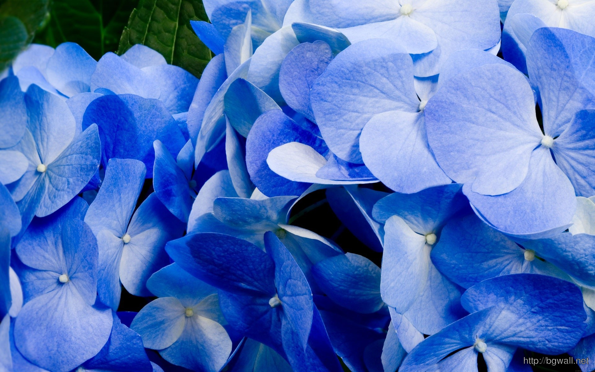 Blue Hydrangea Wallpaper 9243 Full Size