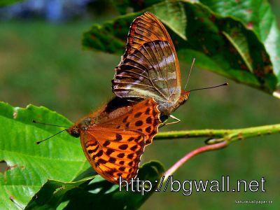 Butterflies Wallpaper Full Size