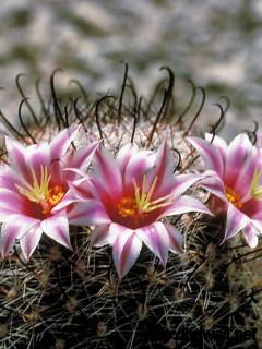 Cactus Flower Full Size