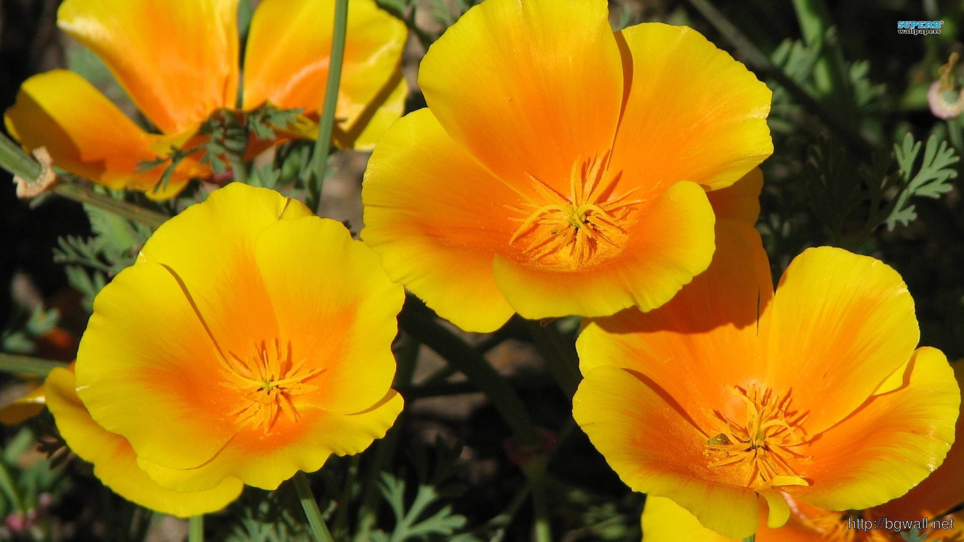 California Poppy Wallpaper Full Size