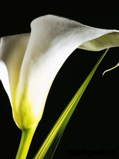 Calla Lily Wallpaper 3968 Full Size