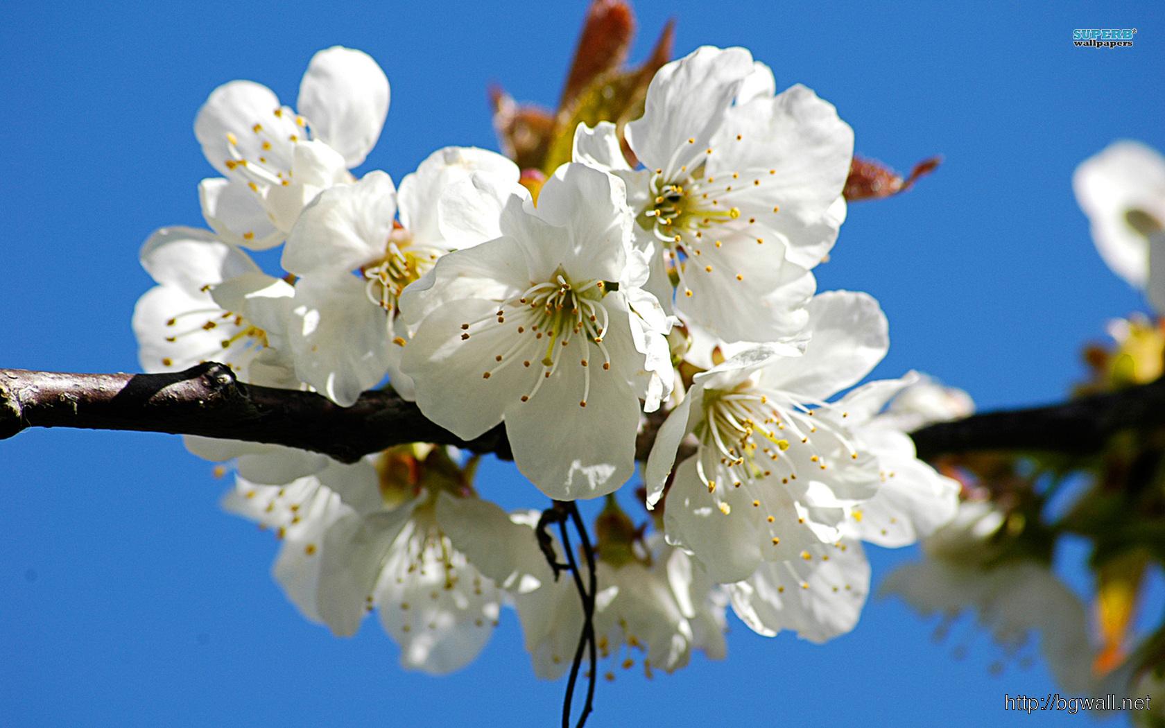 Cherry Blossom Wallpaper Full Size