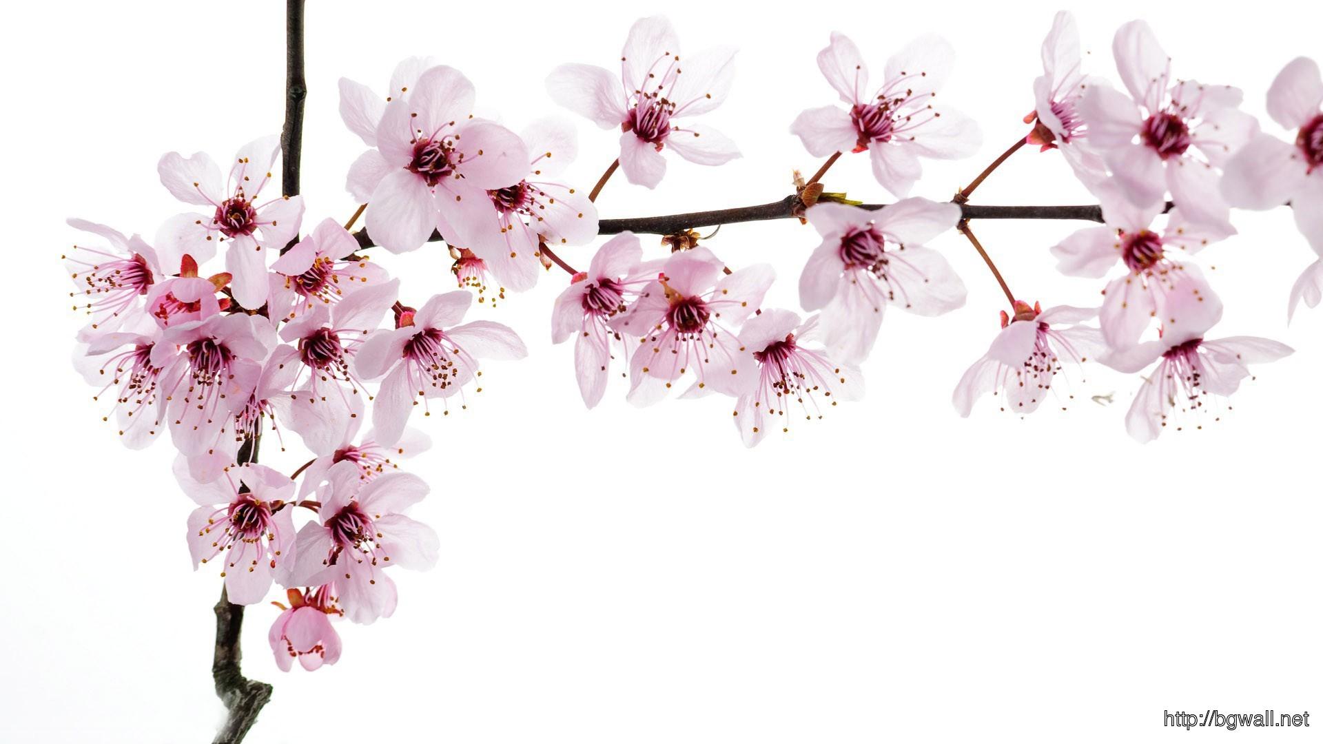 Cherry Blossoms Wallpaper 10954 Full Size