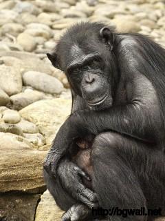 Chimpanzee Full Size