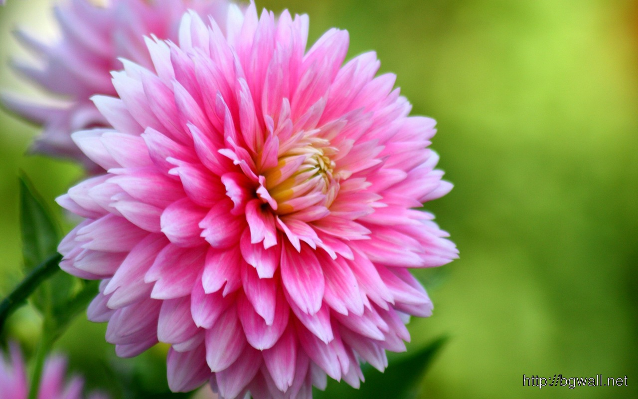 Colorful Dahlia Flowers Full Size