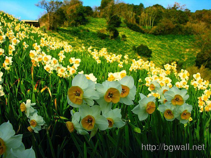 Daffodil Flowers Full Size