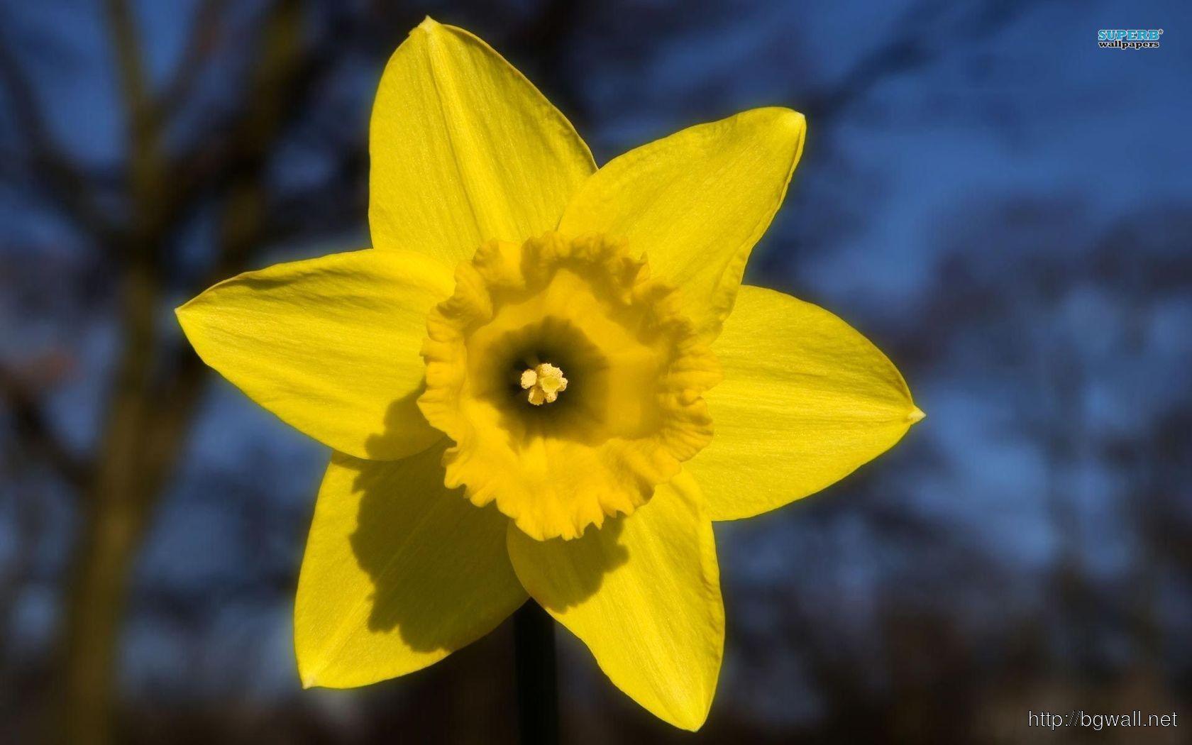 Daffodil Wallpaper Full Size