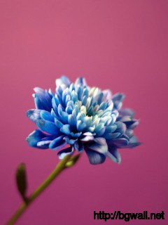 Download Blue Dahlia Wallpaper Full Size