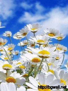 Download Daisies Wallpaper Full Size