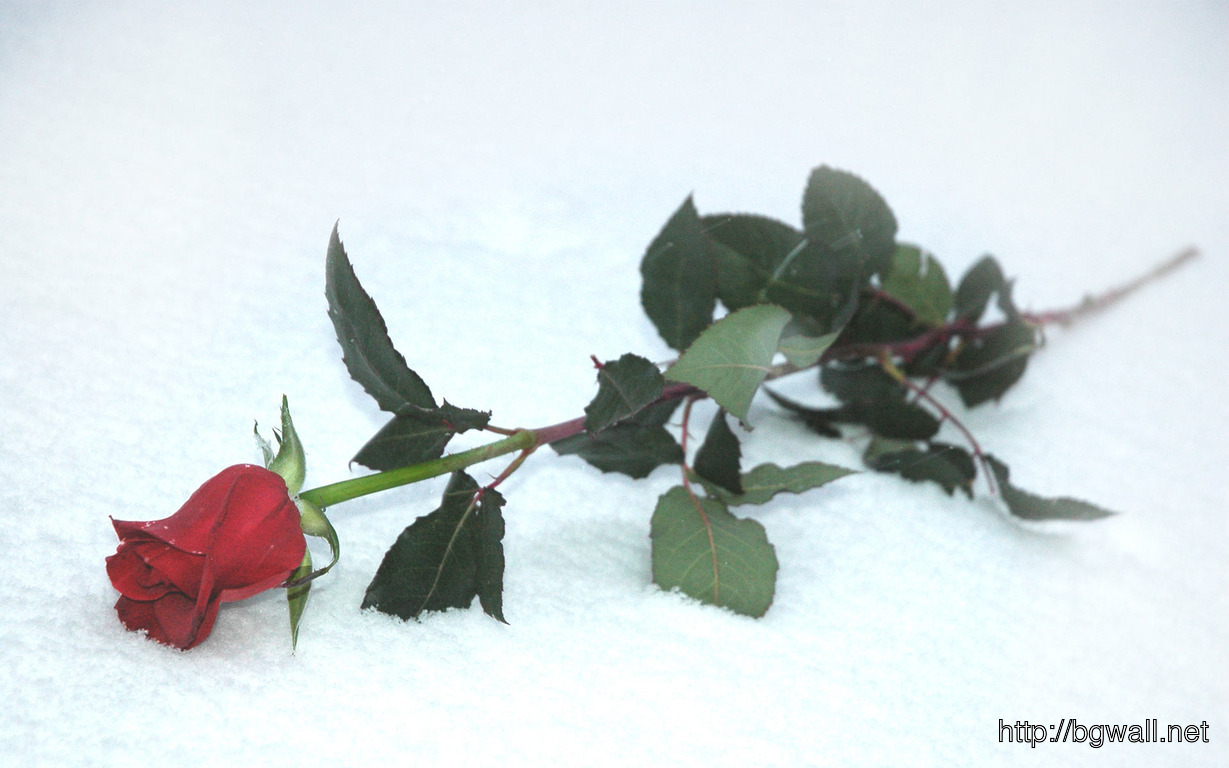 Download Red Rose In The Snow Wallpaper Full Size