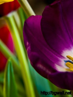 Download Tulips Wallpaper Full Size