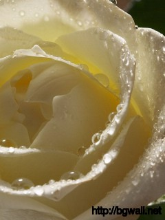 Download Wet White Rose Wallpaper Full Size