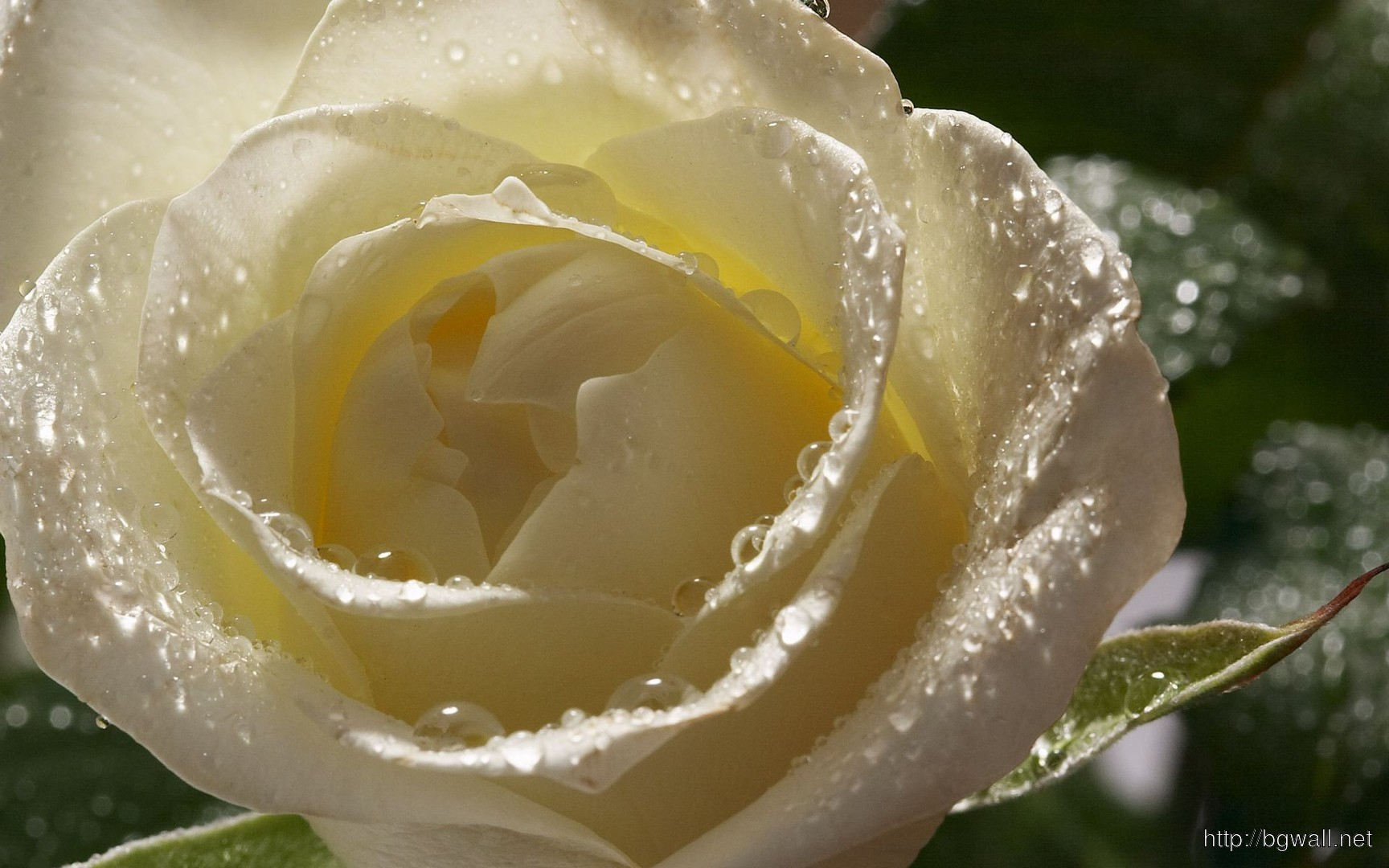 Download Wet White Rose Wallpaper