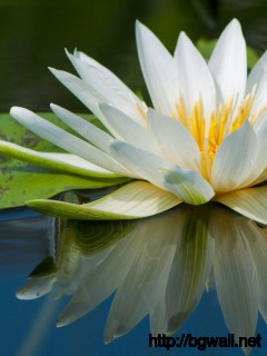 Download White Water Lilly Wallpaper Full Size