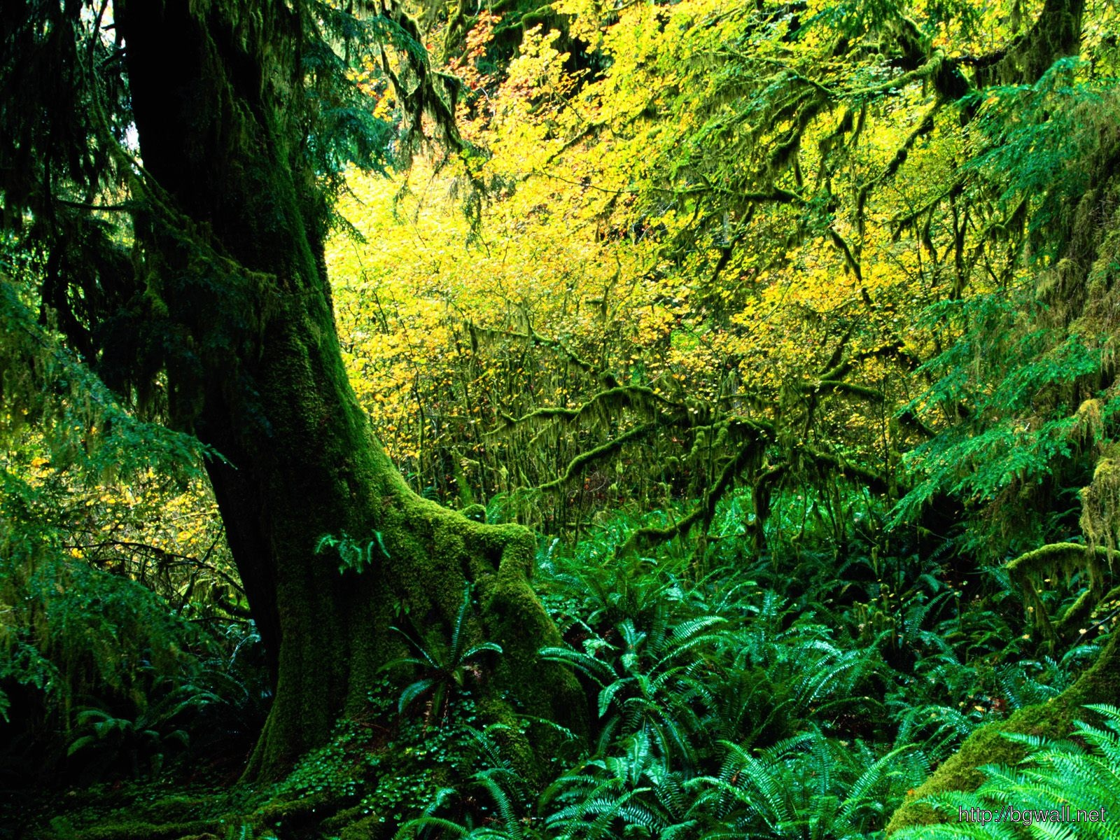 Hoh Rainforest Olympic National Park Washingto Full Size
