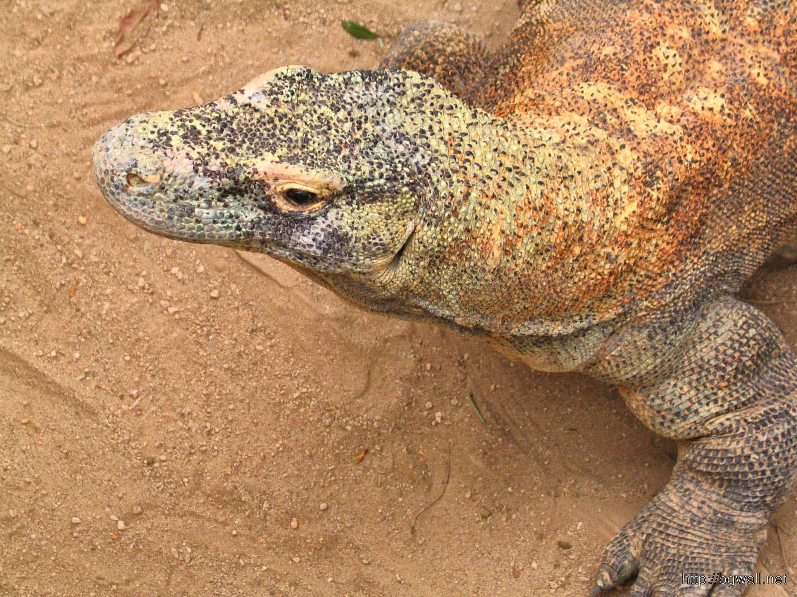 Komodo Dragon Full Size
