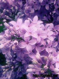 Lilac Wallpaper Full Size