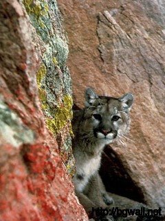 Mountain Lion Full Size