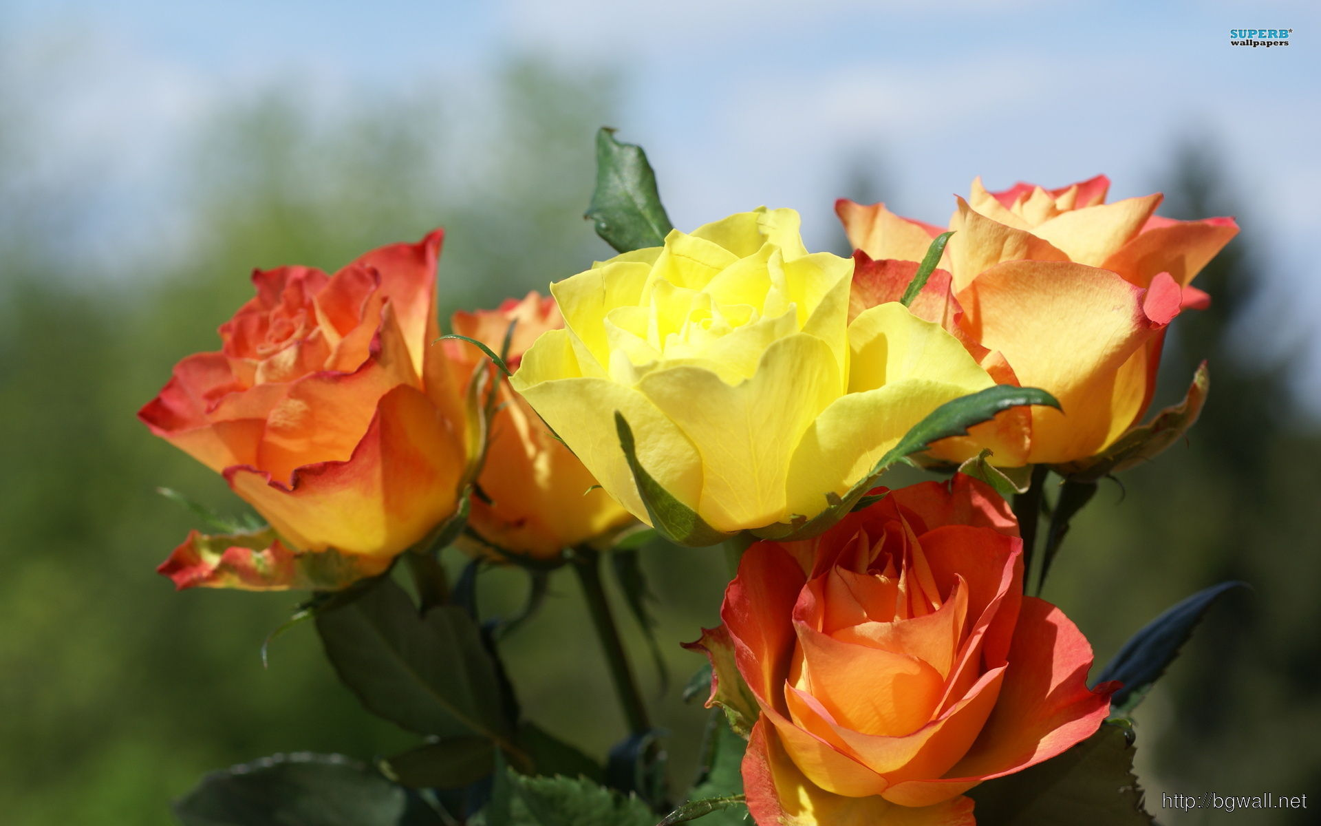 Orange And Yellow Roses Wallpaper Background Wallpaper Hd