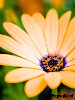 Orange Daisy Wallpaper 2339 Full Size