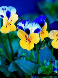 Pansies Wallpaper 888 Full Size