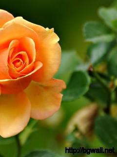 Peach Rose Wallpaper 856 Full Size
