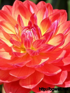 Pink Dahlia Wallpaper Full Size