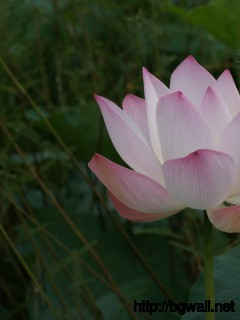 Pink Lotus Wallpaper Full Size